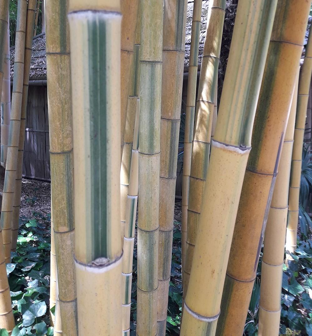 jardin bamboo avec hortica